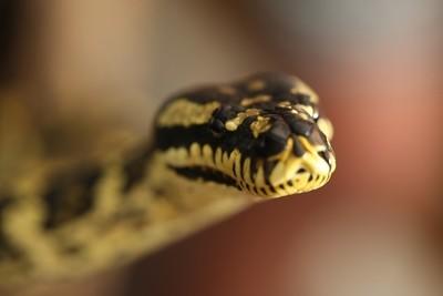 Curious Jungle Python