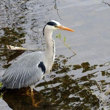 Stalking ones Prey in the river.