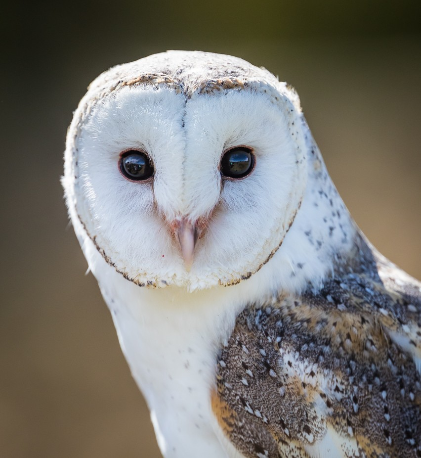 Lucy the Barn Owl