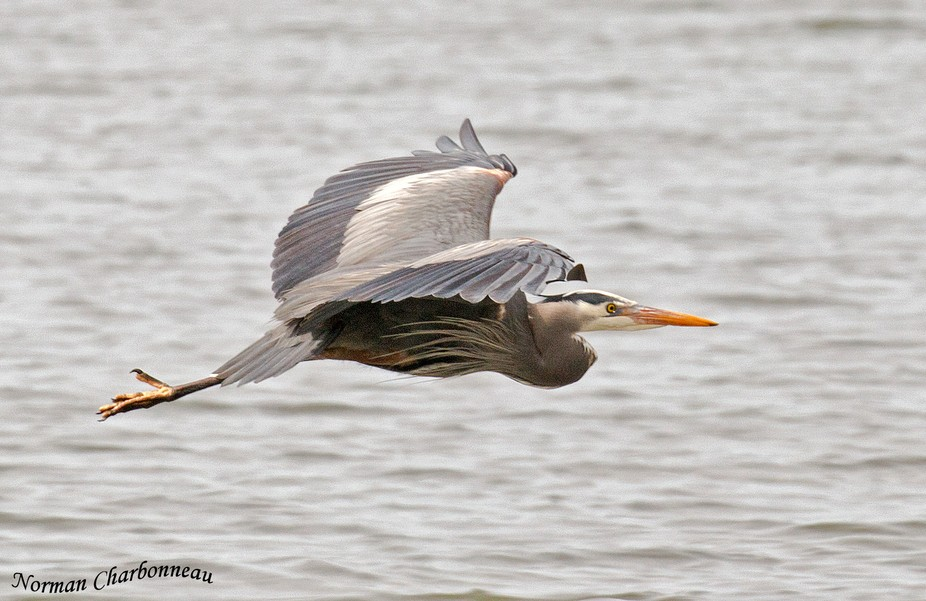 I watched this Blue Heron hunting along the shore so I had tome to cradle my camera and lens on m...