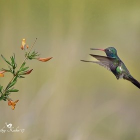 This is a broad-billed hummingbird I saw last week for the first time while visiting Southern Arizona.  It's a gorgeous bird!