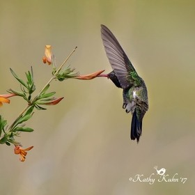 A broad-billed hummingbird photographed in Southern Arizona last week.  It was a real thrill for me to see this bird!