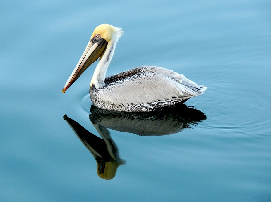 Just a pelican swimming by a dock in the Keys.