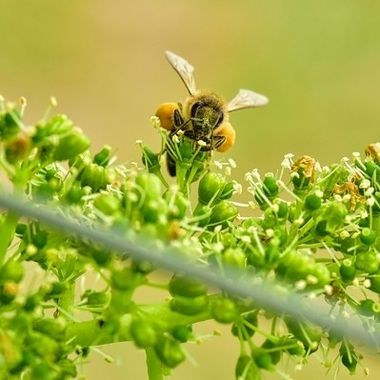 Honey Bee on Blooming Grapevine