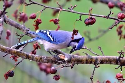 bluejay eating peanuts