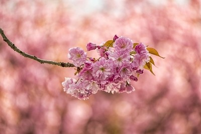 Japanese cherry flower ...