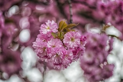 Japanese cherry flower