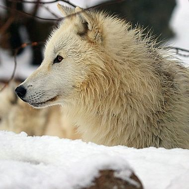 Grayson. 11 month old male Artic Wolf.  He is a member of the Ambassador pack at the International Wolf Center in Ely, MN