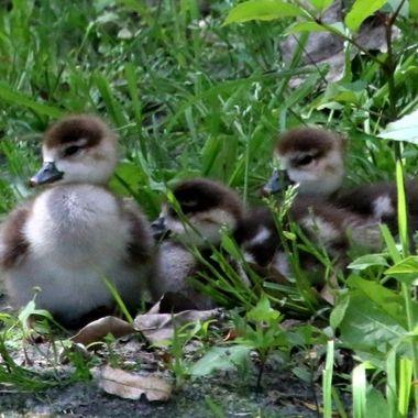 Egyptian-geese-chicks img_7272