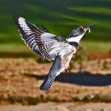 belted-kingfisher-img_0715