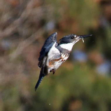 Belted Kingfisher img_0719