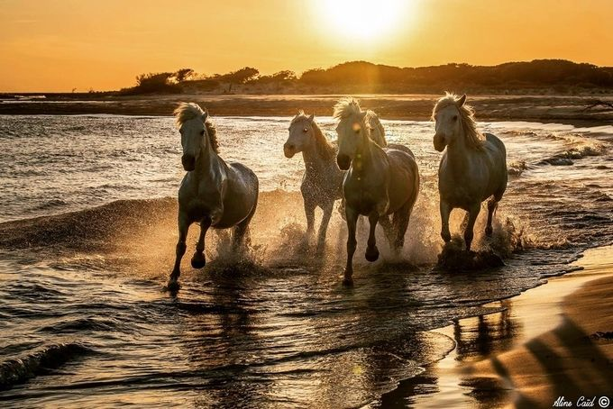 Wild White Horses  by alinecaid - Animals And Water Photo Contest