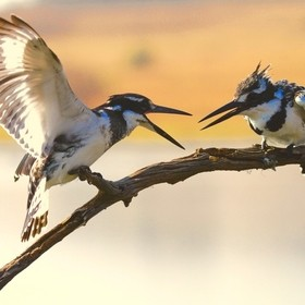Pied Kingfisher making its point in Pilanesburg, South Africa