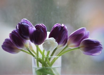 Purple (Tulips)
