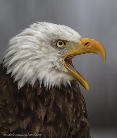 _MG_5109-screaming eagle-nickshearmanphotos.com