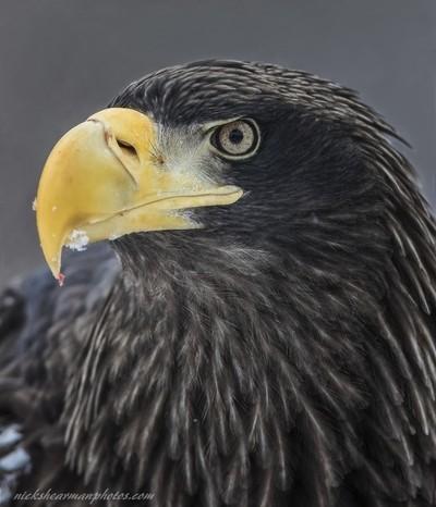 _MG_6421-eagle eye-nickshearmanphotos.com