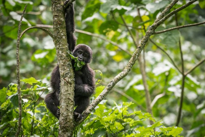 UgandaGorilla by jonnytakespictures - Explore Africa Photo Contest