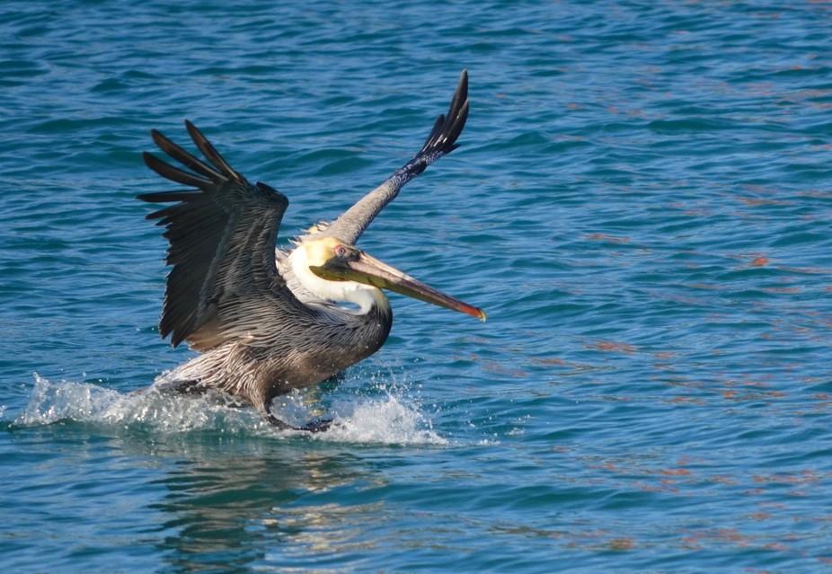 Amazing how a pelican lands