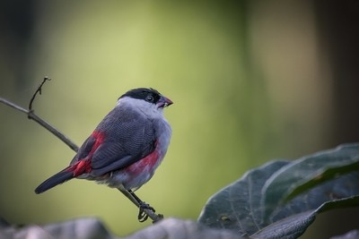 Black-crowned Waxbill