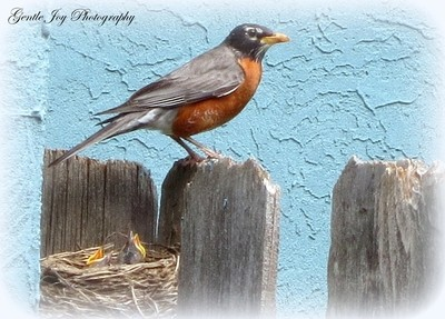 Mother Robin Guards Babies
