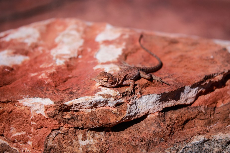 Resident at Kings Canyon, Northen Territory, Australia.