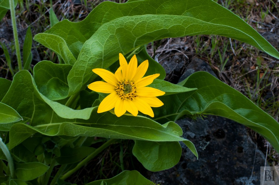 This flower I have only seen in OR at Moiser and Rowena Crest WA.