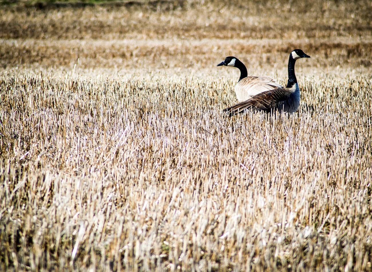 Spring time and the Canadian Geese are looking for nesting areas.