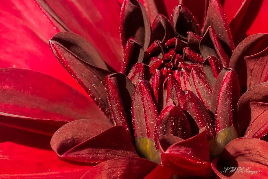 Macro of red zinnia
