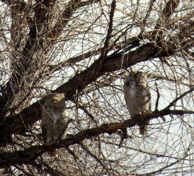 Two Great Horned Owls in a Tree