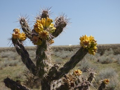 Blooming Choyo Cactus in Southern Colorado