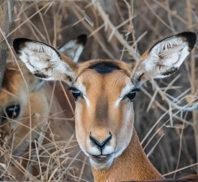 Portrait of  Impala - 3
