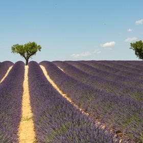 Provence, France, is the ideal place to be when the lavender is in bloom. It is everywhere and beautiful. It was a memorable trip.