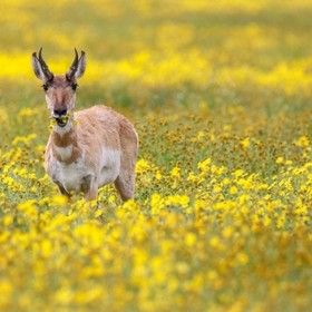 a handsome antelope found in a flower fields of Carrizo Plains