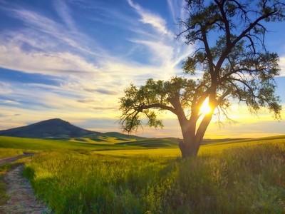 Lone Tree Below Steptoe Butte