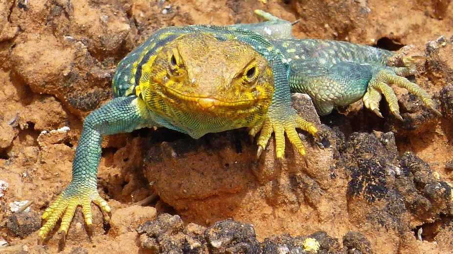 My wife and I were hiking slot canyons near Natural Bridges in S.E. Utah when this lizard begged ...