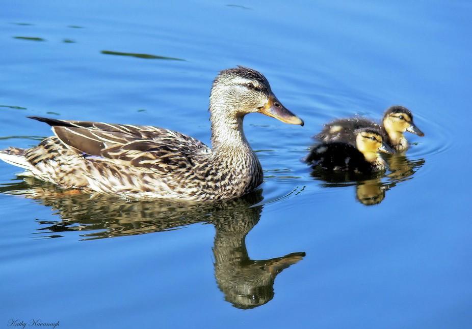 Female mallard and her newborn ducklings on an early swim experience in Ft. Meyers Fla.