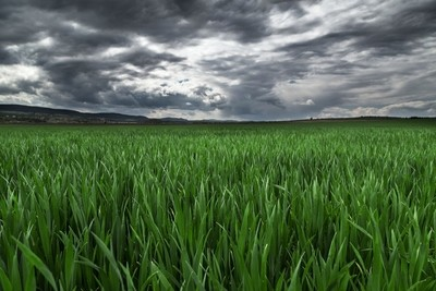 Storm clouds over the field of wheat