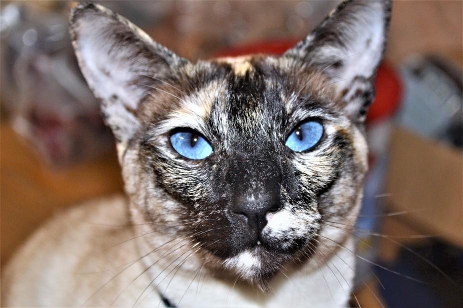 Luna and her blue eyes!