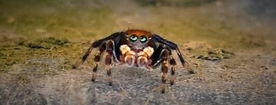 Spider watching eyes