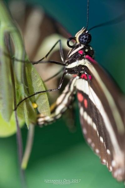 Egg-laying Zebra Longwing (Heliconius charithonia)