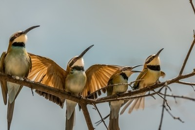 White Fronted Bee Eaters with Wing Display
