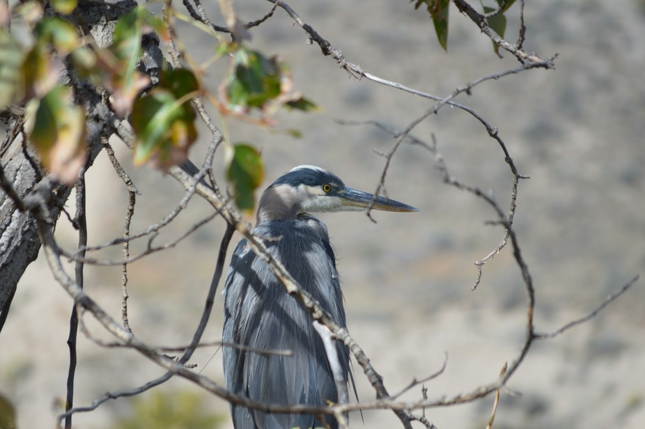 Great Blue Heron Overlooking the River