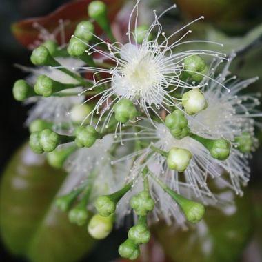 Lily Pilli flower