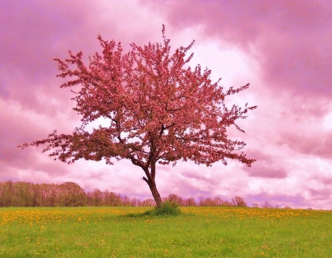 Blossoming Crab Apple Tree by KLClosely - Pink Photo Contest
