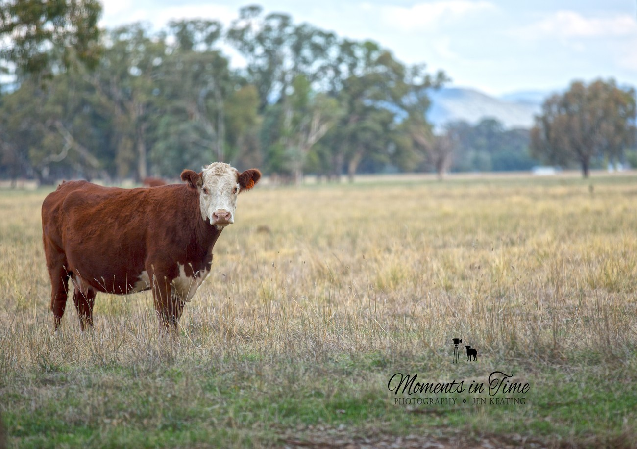 She is standing proud the lovely hereford cow one of my favourite cattle breeds.
