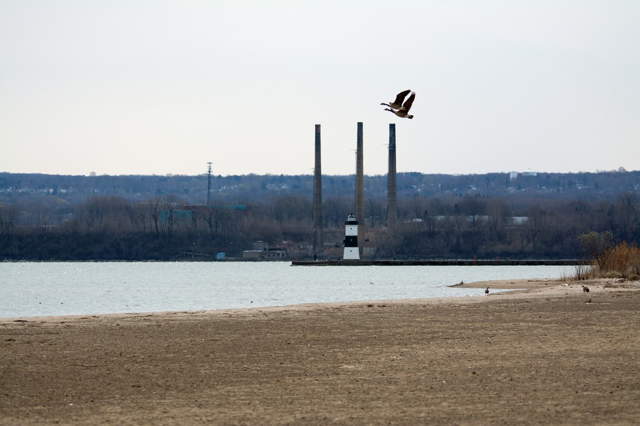 Geese taking flight from the beach.  Lake Erie, Erie, PA.  Beach is near the Coast Guard station ...