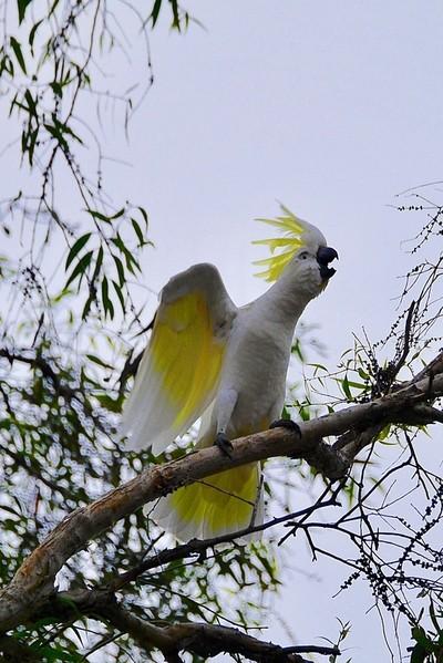 Helloooo, Anybody there...The Sulphur-crested Cockatoo