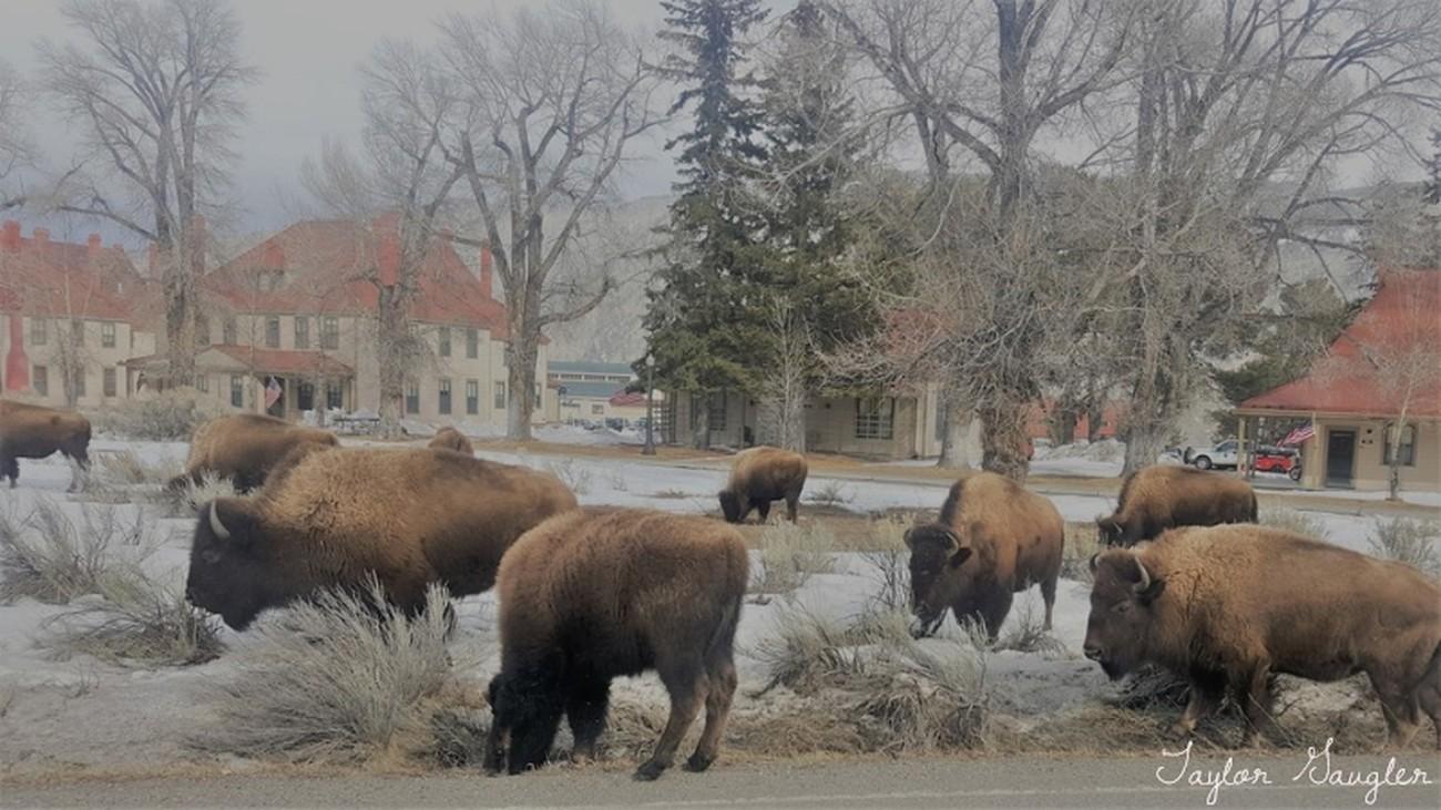 Buffalo of Yellowstone National Park