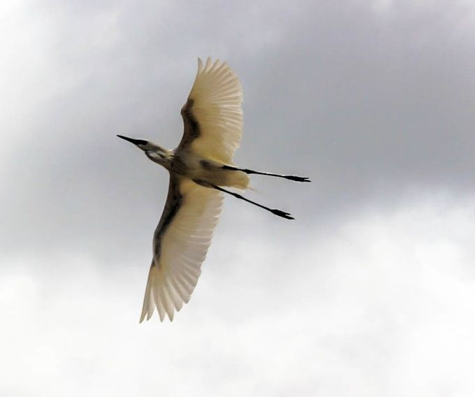 Egret in flight (1 of 1)