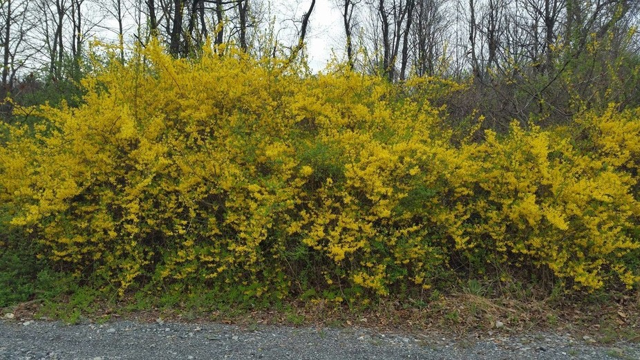Forsythia's in the wild,,,,,